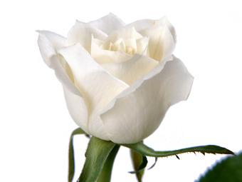 Άσπρο τριαντάφυλλο