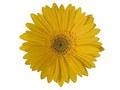 Κίτρινη Ζέρμπερα
