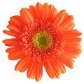 Πορτοκαλί Ζέρμπερα
