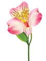 Ροζ Κλωνάρι Αλστρομέρια