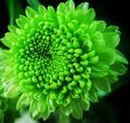 Πράσινο Κλωνάρι Χρυσάνθεμο