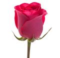 Φούξια Τριαντάφυλλο