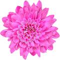 Ροζ Κλωνάρι Χρυσάνθεμο