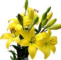 Κίτρινο Κλωνάρι Λίλιουμ