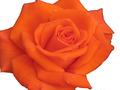 Πορτοκαλί Τριαντάφυλλο