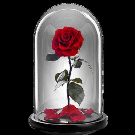 Παντοτινό τριαντάφυλλο
