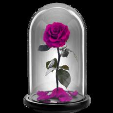 Προσφορά του μήνα - Παντοτινό τριαντάφυλλο - Φούξια