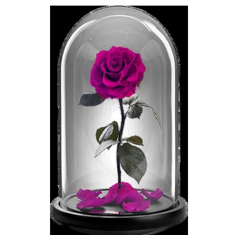 Παντοτινό τριαντάφυλλο - Φούξια